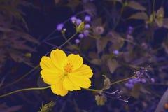 与波斯菊的软的迷离摘要背景在庭院里开花 淡色口气 库存图片