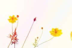 与波斯菊的软的迷离摘要背景在庭院里开花 淡色口气 免版税库存照片