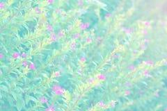 与波斯菊的软的迷离摘要背景在庭院里开花 淡色口气 图库摄影