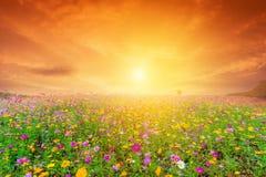 与波斯菊花田的美好的风景图象在日落 免版税库存图片