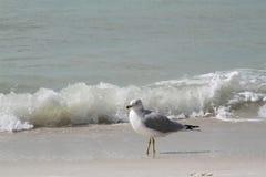 与波浪的鸥在背景中 免版税库存图片