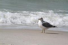 与波浪的鸥在背景中 免版税库存照片