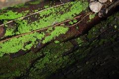 与波浪纹理的破旧的树生长在镇压的根和青苔 免版税库存照片