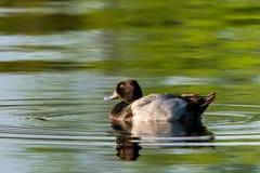 与波纹和反射的一点斑背潜鸭 免版税库存图片