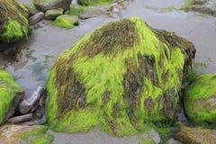 与泥和海草的石头在海滩  免版税库存照片