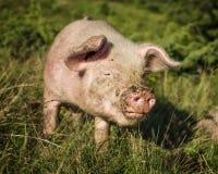 与泥泞的口鼻部的猪 库存照片