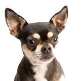 与泪花的哀伤的奇瓦瓦狗在眼睛 免版税库存图片