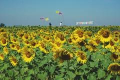 与泰国和皇家旗子的向日葵领域 库存图片