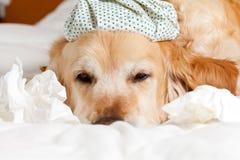 与流感的狗 图库摄影