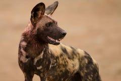 与流血的脖子的豺狗在寻找和哺养以后 库存图片
