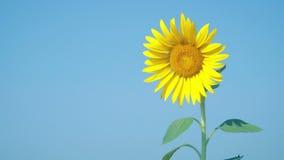 与浅兰的天空的美丽的一向日葵 股票录像