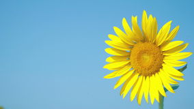 与浅兰的天空的美丽的一向日葵 影视素材