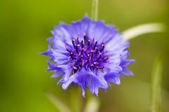 与浅兰的瓣和一个紫色核心的一朵花 宏指令 免版税库存照片