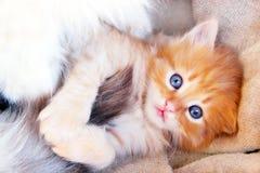 与浅兰的眼睛的可笑的小猫 库存照片