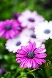 在一个晴天的紫罗兰色雏菊 免版税库存图片