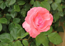 与浅景深的唯一桃红色玫瑰 免版税库存照片