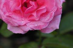 与浅景深的桃红色玫瑰 免版税库存图片