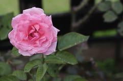 与浅景深的桃红色玫瑰 免版税库存照片