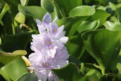 与浅紫色的若虫花 免版税库存图片