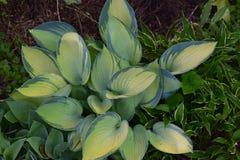 与浅绿色的叶子的深绿被打翻的玉簪属植物 免版税库存图片