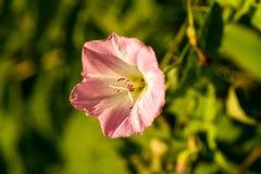 与浅紫色的瓣的一朵小花 在一个轻的背景 宏指令 库存照片
