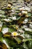 与浮动leaf& x27的荷花; s在池塘 免版税库存照片