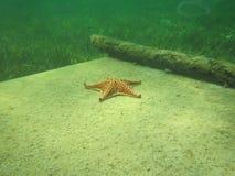 与海星的龙虾cocita 库存照片