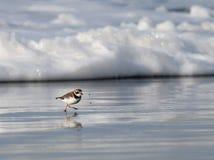 与海泡沫的Semipalmated珩科鸟 免版税库存照片