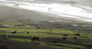 与海洋海岸和一个草甸的全景风景有在多云下午的母牛的 库存照片