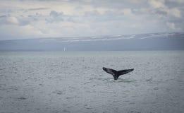 与海湾的驼背鲸潜水背景的 免版税图库摄影
