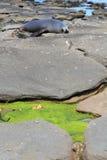 与海狮的海滩 免版税库存图片