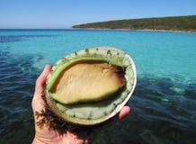 与海的绿色嘴唇鲍鱼backgrouund的 免版税库存照片