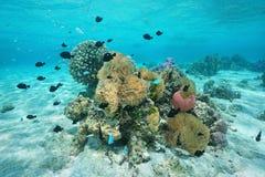 与海葵和珊瑚法属玻里尼西亚的鱼 库存照片