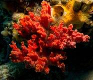 与海蛇尾的红色海绵 免版税库存图片