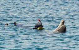 与海豚的潜水者戏剧 免版税库存照片