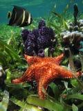 与海绵的水下的海星和神仙鱼 库存照片