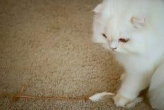 与消沉的白色波斯猫。 库存图片