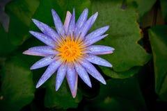 与淡水露水和绿色l的紫色百合莲花 免版税库存图片