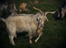 与淡色的毛皮的长的有角的山羊在一个绿色领域 免版税库存图片