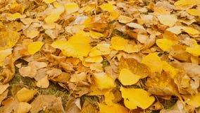 与淡黄色叶子行动的落叶树 股票视频