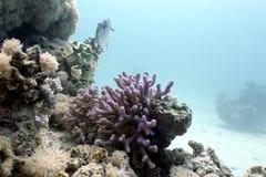 与淡紫色敞篷珊瑚的珊瑚礁和在热带海底部的异乎寻常的鱼  免版税库存图片