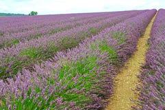 与淡紫色花行的一个领域  库存照片