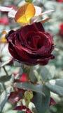 与深红瓣的一朵玫瑰花 免版税图库摄影