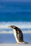 与深蓝海,福克兰群岛的Gentoo企鹅 从狂放的自然的野生生物场面 与波浪和鸟的白色海滩 免版税图库摄影