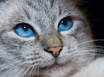 与深蓝眼睛的猫 免版税库存图片