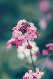 与深绿蓝色叶子,模糊的背景的神仙的梦想的不可思议的红色桃红色花,定调子与在减速火箭的葡萄酒的instagram过滤器 免版税库存照片