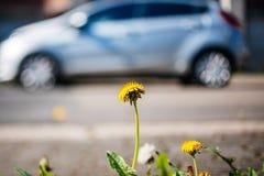 与混合动力车辆的蒲公英特写镜头在背景生态envi 免版税库存照片