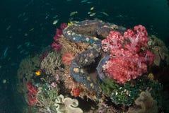 与清晰地可看见一个的巨型蛤蜊的一块美丽的五颜六色的礁石 免版税库存照片