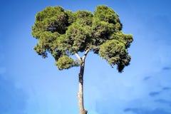 与清楚的天空的唯一杉树 图库摄影