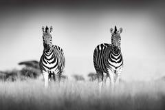 与清楚的天空的斑马 艺术黑色典雅的发型夫人照片短小时髦的白色 伯切尔的斑马,马属拟斑马burchellii,恩克塞盐沼国家公园,博茨瓦纳, 免版税图库摄影